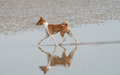 Reflection as dog paces on sand Royalty Free Stock Photo