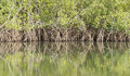 Reflection mangroves mangrove trees on an inlet of the river gambia Stock Photos