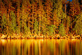 Reflection of pines in water at sunset golden Royalty Free Stock Photography