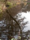 reflection of tree branch in water lake surface background Royalty Free Stock Photo