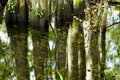 Reflection of trees in water cypress a swamp everglades national park florida usa Stock Photos