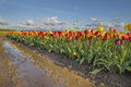 Reflection of tulips row tulip flowers at tulip farm in woodburn oregon Royalty Free Stock Photo