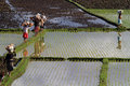 Reflections of workers in the rice fields Royalty Free Stock Photo