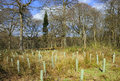 Reforestation landscape showing of mixed woodland with tree guards protecting young newly planted trees Stock Image