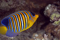 Regal angelfish Royalty Free Stock Photos