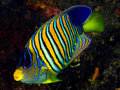 Regal angelfish (Pygoplites diacanthus) Royalty Free Stock Image