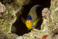 Regal angelfish (pygoplites diacanthus) Stock Image