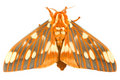 Regal Moth- Citheronia regalis Stock Image