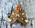 Regal Moth, Georgia USA Royalty Free Stock Photo