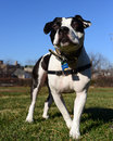 Regal pit bull is man s bestfriend my dog posed proudly for this pet portrait Stock Photography