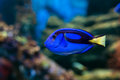 Regal Tang fish Royalty Free Stock Photo