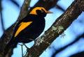 Regent bower bird male a in queensland australia Royalty Free Stock Photo