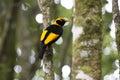 Regent's Bowerbird on rainforest tree Royalty Free Stock Photo