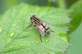Regular shuttle fly sitting on a green leaf netherlands Royalty Free Stock Photos