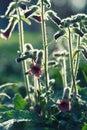 Rehmannia Flowers