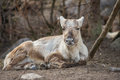 Reindeer adult in skansen zoo museum Royalty Free Stock Image