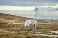 Reindeer in arctic summer eating grass infront of the sea and mountains slow svalbard Stock Photos