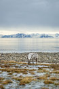 Reindeer in arctic summer eating grass infront of the sea and mountains slow svalbard Royalty Free Stock Images