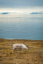Reindeer in arctic summer eating grass infront of the sea and mountains slow svalbard Stock Image