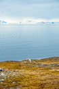 Reindeer in arctic svalbard eating grass tundra summer norway Stock Image