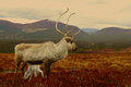 Reindeer cow and calf in scotland newborn with its mother the cairngorm mountains Royalty Free Stock Photos
