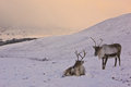 Reindeer cow and calf in scotland roaming free the cairngorm mountains Stock Image