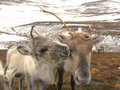 Reindeer cow and calf in scotland roaming free the cairngorm mountains Royalty Free Stock Photography