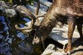 Reindeer drinking water at skansen park Stock Photo
