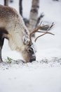 Reindeer eat grass in a winter forest eats norwegian cold Royalty Free Stock Image