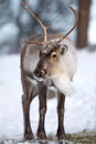 Reindeer eating the winter forest or caribou eats grass in cold Royalty Free Stock Image
