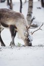 Reindeer eats in a winter forest eat grass norwegian cold Royalty Free Stock Photo