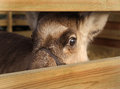 Reindeer eye of a in captivity in a wooden fenced area Royalty Free Stock Images