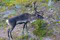 Reindeer feeding in northern sweden Stock Photos
