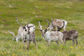 Reindeer a flock of in the tundra Royalty Free Stock Photo
