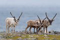 Reindeer a flock of in the tundra Royalty Free Stock Photography