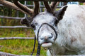 Reindeer grazing in the meadow closeup Stock Photography