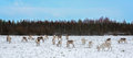 Reindeer herd eating grass on a snowy meadow in lapland finland Stock Photo