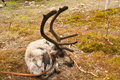 Reindeer in Lapland, Finland Royalty Free Stock Photo