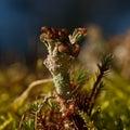 Reindeer lichen Royalty Free Stock Photo