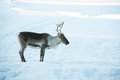 Reindeer a lonely in the snow Stock Photography