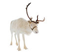 Reindeer in front of a white background Royalty Free Stock Photo