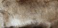 Reindeer pelt a rangifer tarandus Royalty Free Stock Photo