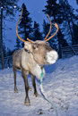 Reindeer portrait in winter snow time while eating moss Royalty Free Stock Image