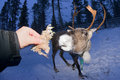 Reindeer portrait in winter snow time while eating moss Stock Photography