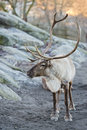 Reindeer portrait in winter time while looking at you Stock Images