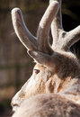 Reindeer's  antlers Royalty Free Stock Photography