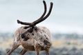 Reindeer a in the scandinavian tundra Royalty Free Stock Photo