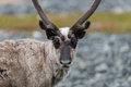 Reindeer a in the scandinavian tundra Royalty Free Stock Photos