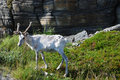 Reindeer shedding of hair under the rock female white is standing on green roadside Royalty Free Stock Photo