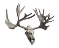 Reindeer skull and antlers isolated. Royalty Free Stock Photo